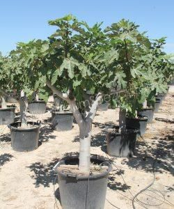 Feigenbaum Feigenbaum Ficus Garten Pflanzen