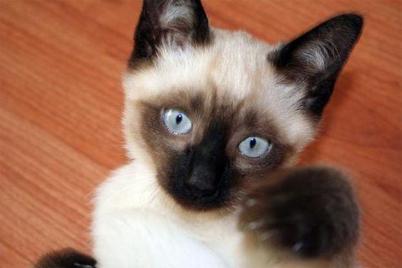 gatinho siamês