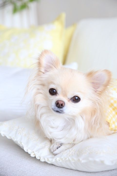 Long Haired Chihuahua http://alldogsworld.com/types-of-chihuahuas…