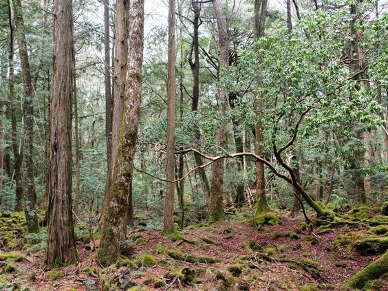 Aokigahara, el bosque de los suicidas 1a9ae76fe8f5e4939ca9901eb5d26eda