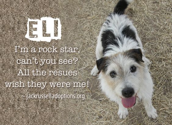 Today's featured Jack Russell rescue for sponsorship and possible foster/adoption - Eli!