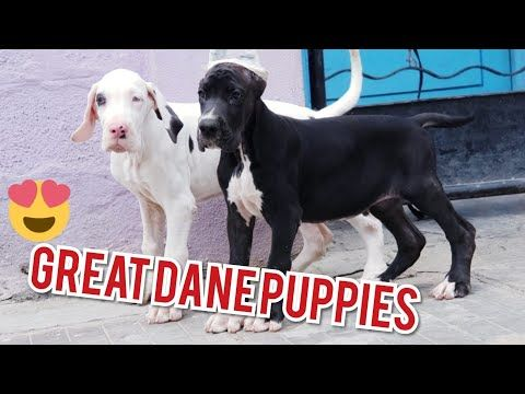 Great Dane Puppies Available Both European American Lines Black Fawn Marle Harle Great Danes You Puppy Training Classes Great Dane Puppy Dane Puppies