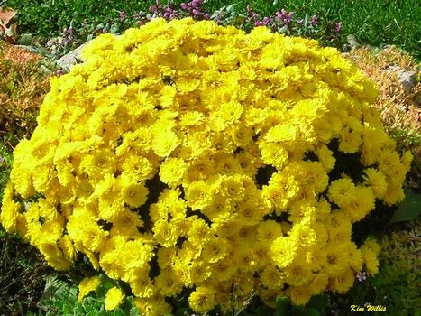 You can sink potted mums in the ground and then take them