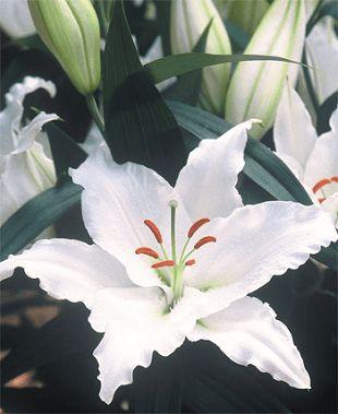 Oriental Lilies 'Sapporo' - MyGardenGates