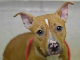 SAFE - 03/09/15  by Rebound Hounds --- Manhattan Center  LEELA - A1028268  FEMALE, TAN / WHITE, AM PIT BULL TER MIX, 1 yr, 6 mos STRAY - STRAY WAIT, NO HOLD Reason STRAY  Intake condition EXAM REQ Intake Date 02/18/2015 https://www.facebook.com/Urgentdeathrowdogs/photos/pb.152876678058553.-2207520000.1424642636./964547733558106/?type=3&theater