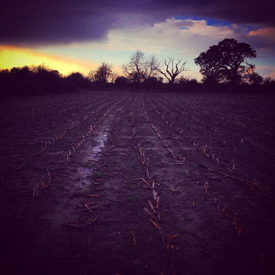 A harsh November landscape is linearly marked by the rotting stems of harvested sweetcorn and framed by a silhouetted line of trees which hold back the sunset as night falls. #november #landscape #lines #mud #trees #sunset #skyline #silhouette #symmetry #clouds #sun #sunshine #dusk  #winter #love #romance #winter #bare #sparse #puddles #dark #beautiful #colours