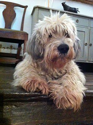 polish lowland sheepdog. omg, too cute.