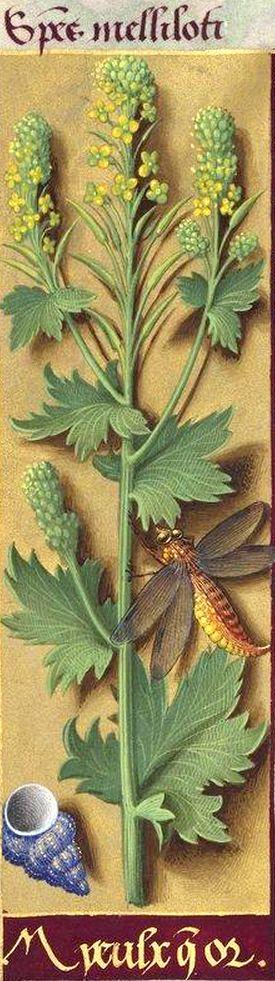 Myeulx que or - Species melliloti (Crucifère difficile à déterminer. Jussieu a proposé le «Bunia» ou le Napus sylvaticus de C. Bauhin ; Decaisne, un Nasturtium) -- Grandes Heures d'Anne de Bretagne, BNF, Ms Latin 9474, 1503-1508, f°160v