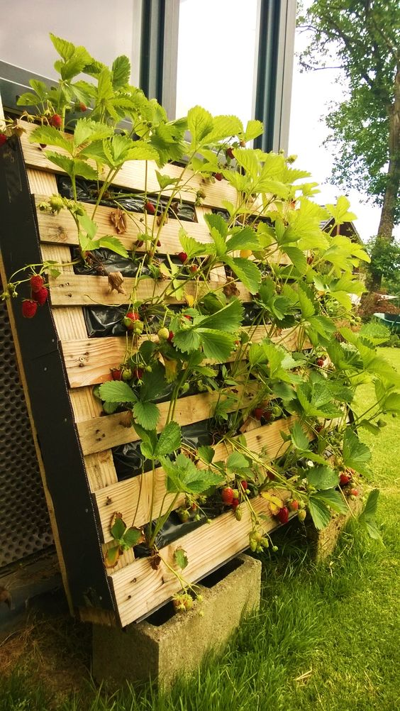 Des fraisiers sans limaces...: