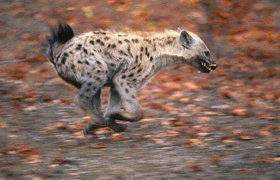 https://golay.files.wordpress.com/2006/11/hyena.gif