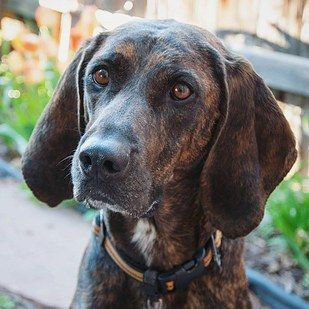 The Plott Hound | 17 Dope Ass Dog Breeds You've Never Heard Of And Need Right Now