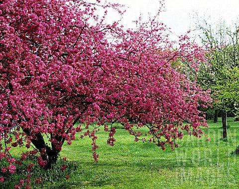 malus purpurea royalty google haku omena kirsikka. Black Bedroom Furniture Sets. Home Design Ideas