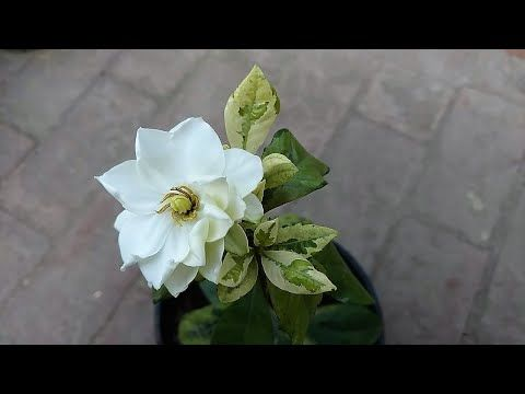 Gardenia Plant Ko Phool Lag Gia What Is Care Of Gardenia Plant Youtube In 2020 Gardenia Plant Plants What Is Care