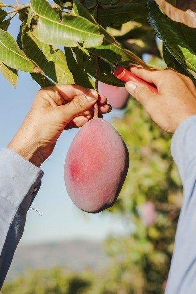 How And When To Pick My Mangos: Tips On Harvesting Mangos At Home