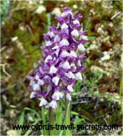 Orchids growing wild in Cyprus