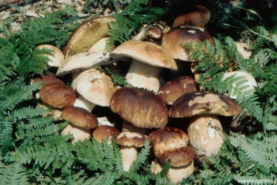 """I funghi alleati di cuore e vasi sanguigni  === Siamo nel pieno della stagione dei funghi, che va tra fine agosto e il mese di ottobre. """"E' proprio questo il periodo in cui le famiglie italiane si trovano ad acquistare e a raccogliere funghi, sp..."""