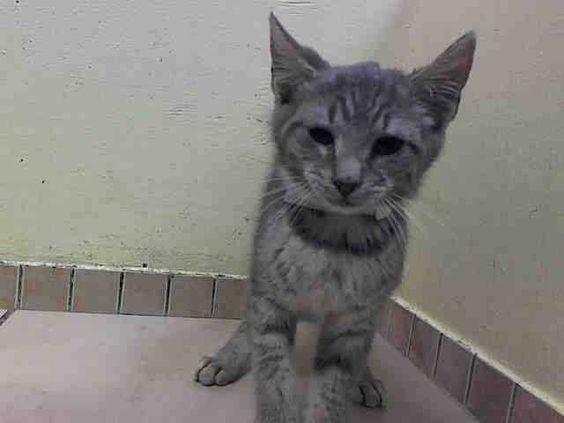 TO BE DESTROYED 6/27/14 ** BABY ALERT! Norton interacts with the Assessor, solicits attention, is easy to handle and tolerates all petting. came with littermates A1004307, 4305, 4304, 4311, 4306 ** Brooklyn Center My name is NORTON. My Animal ID # is A1004310. I am a male gray tabby domestic sh mix. The shelter thinks I am about 13 WEEKS old. I came in the shelter as a STRAY on 06/23/2014 from NY 11419 I came in with Group/Litter #K14-183147.