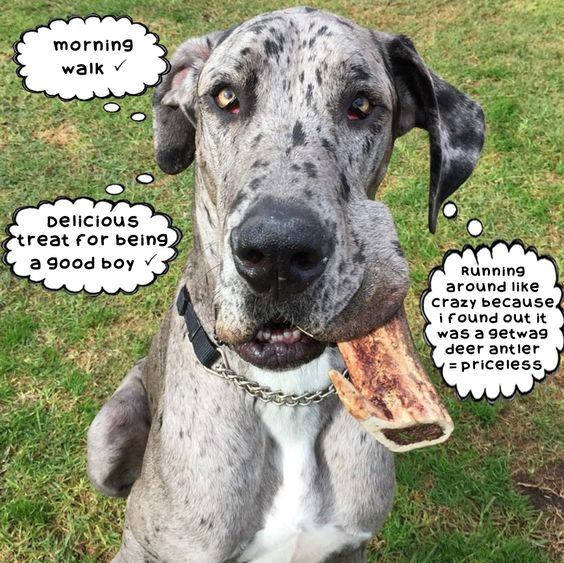 Jagger the Great Dane can tick that antler off the to-do list!