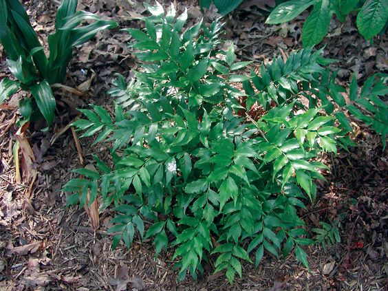 Ferns For Southern Gardens State By Gardening