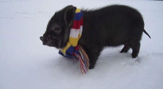 Die beste Compilation voller Minischweine, die ihr jemals gesehen habt