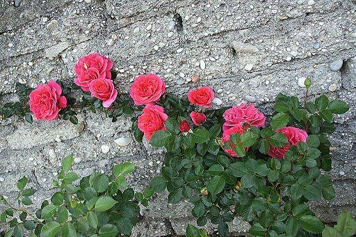 rosa trepadeira: Ideas, 575 395, Garden