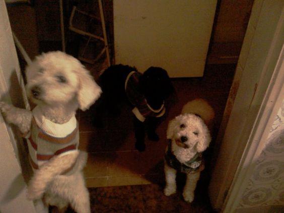 Meus dogs de roupinha.