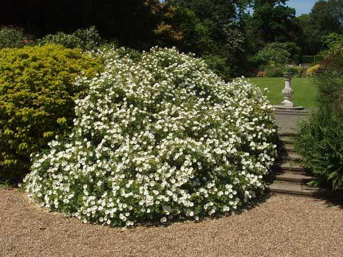 S 4 White Rockrose Cistus Hybridus 5 Gallon Evr Landscape Legend Pinterest Shrub Plants And Gardens