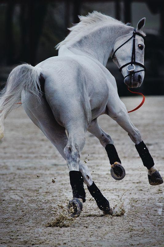 lindo cabalo
