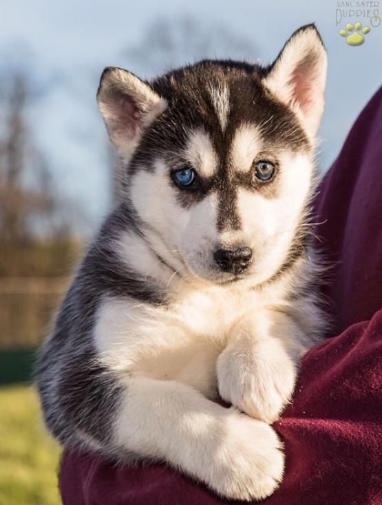 So Kawaii With Images Puppies Dogs Husky Puppy