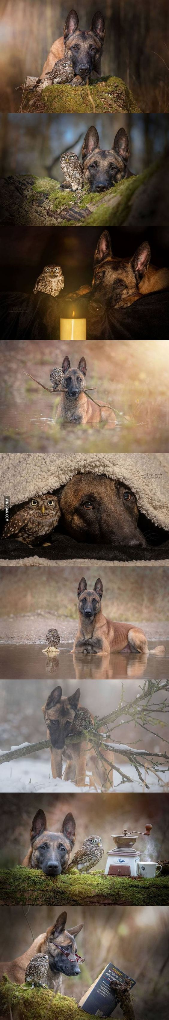 a belgian malinois and an owl formed an unlikely friendship ..awww my heart is melting...