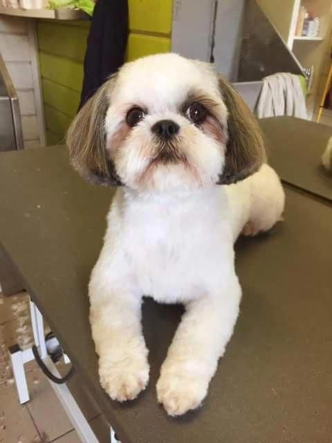 Check Out Our Web Site For Even More Info On Shih Tzus Pup X It Is An Outstanding Area For More Inform In 2020 Shih Tzu Grooming Dog Grooming Shih Tzu Shih