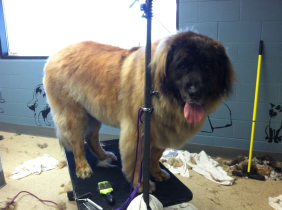 Leonberger, 170 pounds of gentle giant