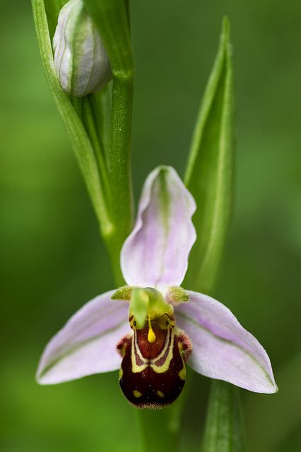 Bee-orchid (Ophrys apifera) flower in front-view. One of the pollinia [round yellow structure] is hanging out in this open flower - Flickr - Photo Sharing!