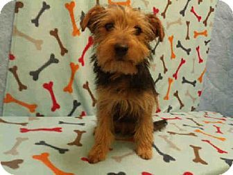Adopt a yorkshire terrier in maryland