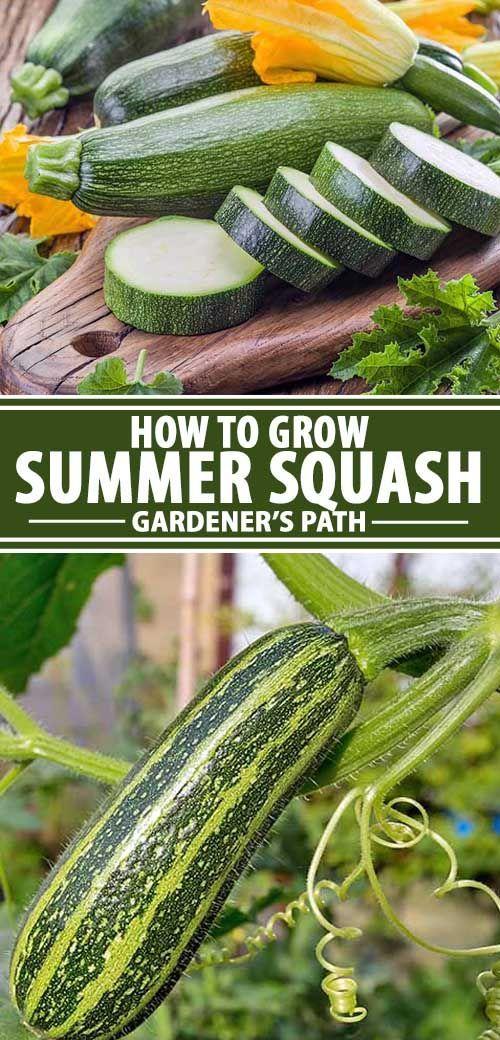 Guide To Growing Summer Squash Growing Squash Growing