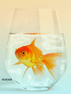 Gold fish animated wallpaper - photo#4