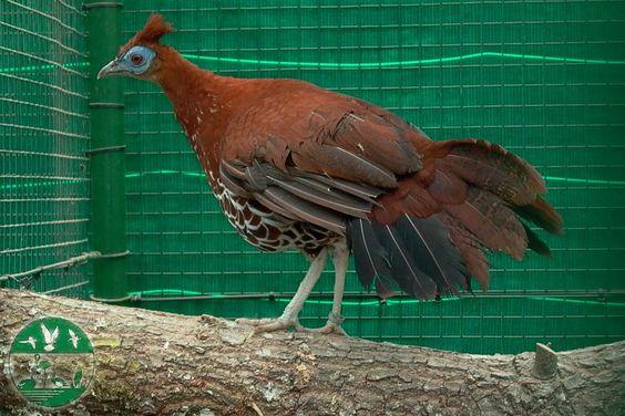 Faisán noble en el parque zoológico ornitológico de Avifauna Lugo