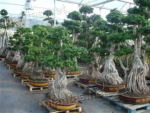 Google Image Result For Http Images33 Fotki Com V1188 Photos 6 623805 6232424 Dsc07849 Demo Vi Jpg Indoorbonsa Large Bonsai Tree Bonsai Styles Indoor Bonsai