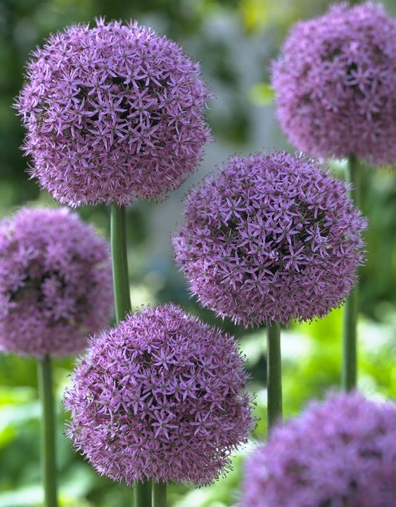 Flowering Allium Purple Balls Of Allium
