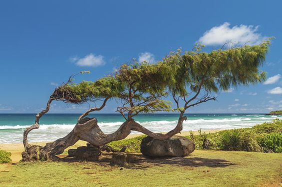 A Wind Blown Ironwood #Tree At Kapaa #Beach #Park in #Kauai #Hawaii. Featured in the 2013 #Ocean Conservancy #Calendar. #photography #photo #photog #trees #nature #travel #photographer #picsart Starting at $27