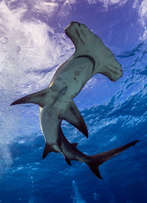 "thelovelyseas: "" Floating Great Hammerhead. Bimini, Bahamas by Carlos Grillo """