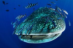 A whale shark accompanied by pilot fish and remora in the Azores