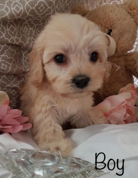 Cavachon Puppies Like Cavoodle Cavachon Puppies Puppies Dogs And Puppies