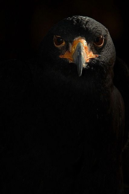 black eagle (photo by another timothy):
