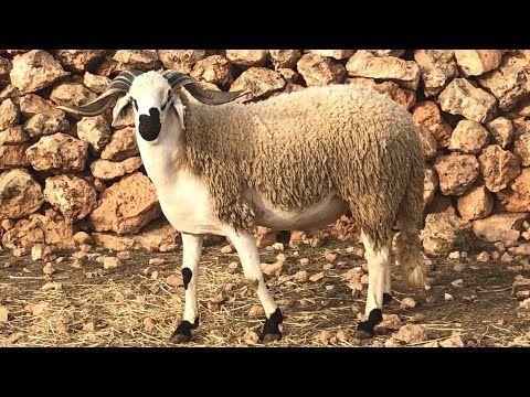 علاش مبقيناش كنلقاو المليح او الجودة بحال هدشي في اضاحي العيد شاهد الفيديو واعطي رايك Youtube Animals Kangaroo