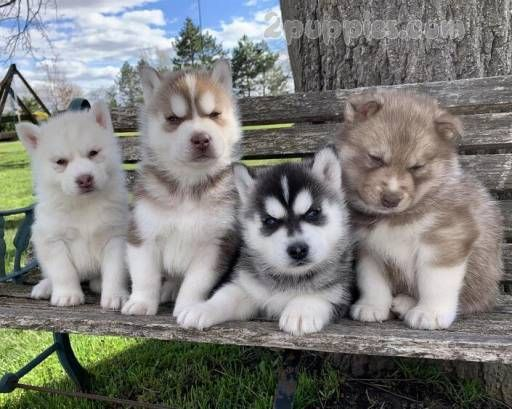 Ch Sired Siberian Husky Puppies Beautiful Dogs Puppies Puppy