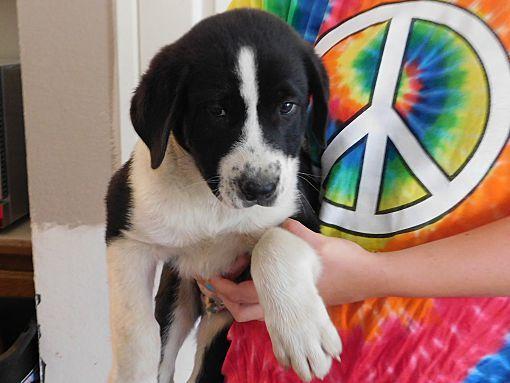 Corona Ca Labrador Retriever Meet Anza Pups G A Dog For Adoption Labrador Retriever Labrador Dog Adoption