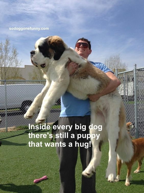 I love St. Bernards!!  Yup, our 4 yr old still runs around like a mad man if he hasn't had his walk.  He runs in circles !  very funny to watch.