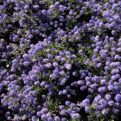 3 X CEANOTHUS /'YANKEE POINT/' CALIFORNIA LILAC EVERGREEN SHRUB HARDY PLANT IN POT