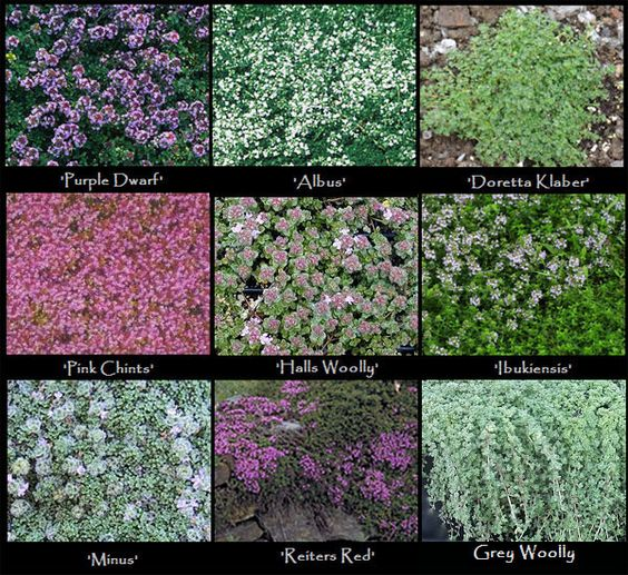 Thyme Varieties - these diminutive creeping thyme varieties are perfect for use as a spice or medicinal purposes